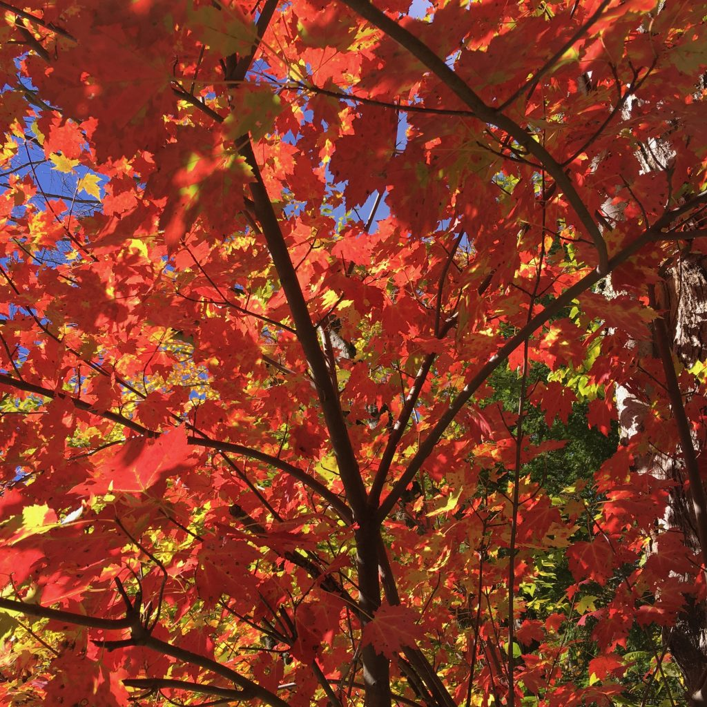 Image of red maple leaves lit by the sun